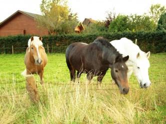 Böttiger-Pferde am Abend