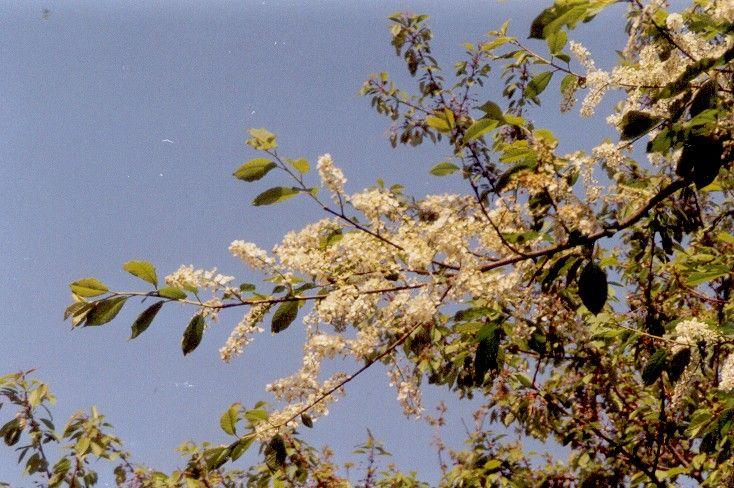 Blühende Traubenkirsche am Wanderweg