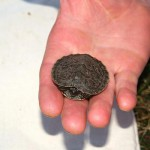 Die kleine Höckerschildkröte