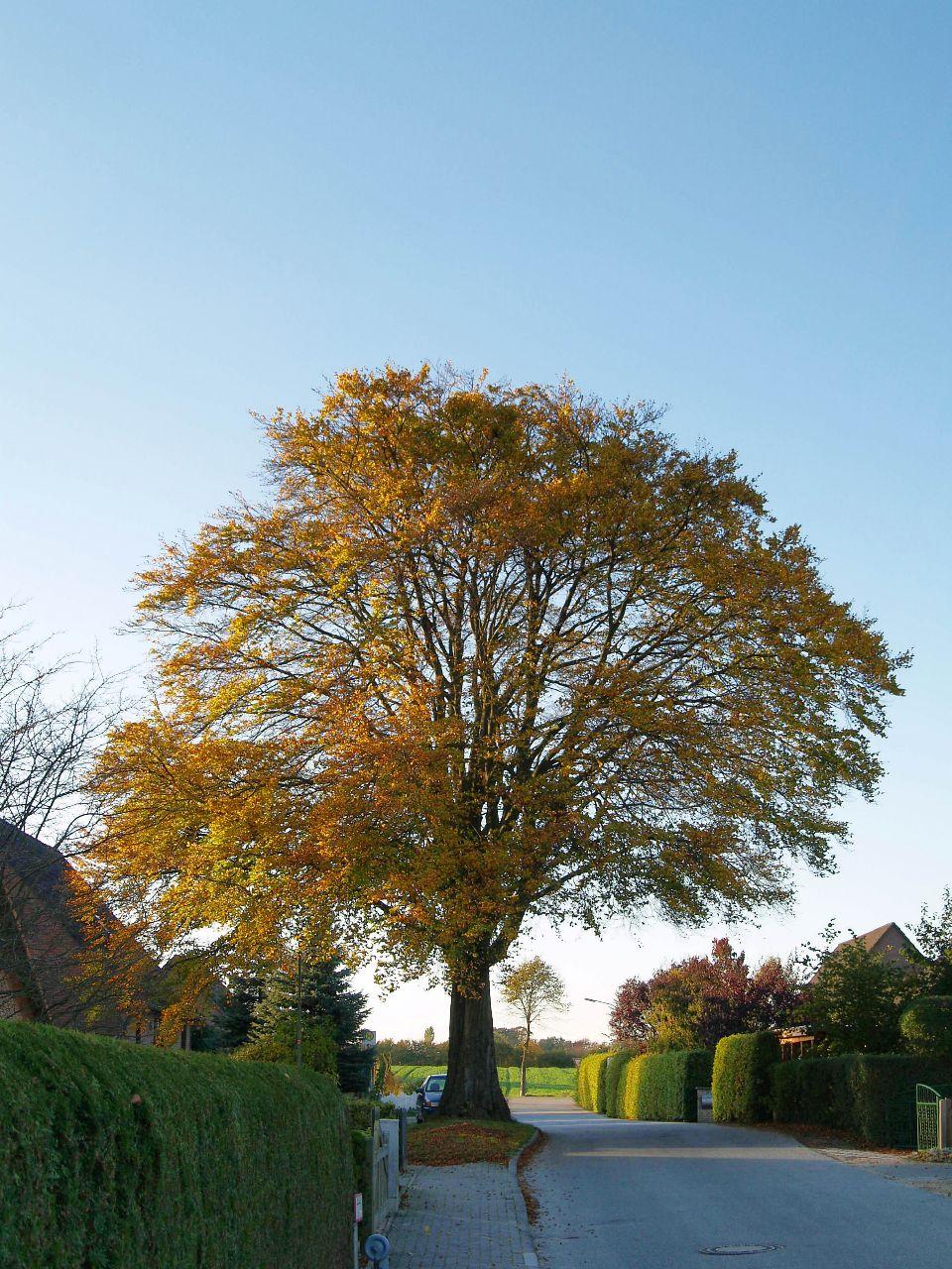Eiche im Wiesenweg im Herbst