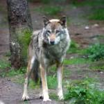 Foto eines freilebenden Wolfes von Uwe Tichelmann