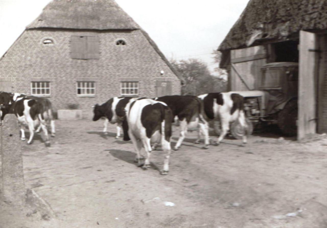 Kühe auf dem Hofplatz