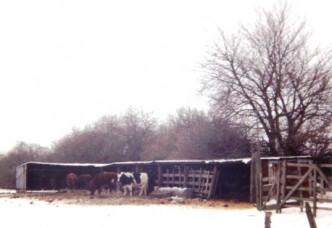 Kühe am Melkstand 1996