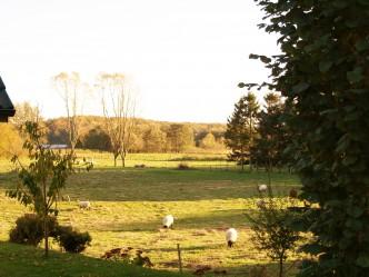 Schafe auf der Feuchtwiese