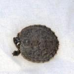 Snajda ist wahrscheinlich eine Mississippi-Höckerschildkröte