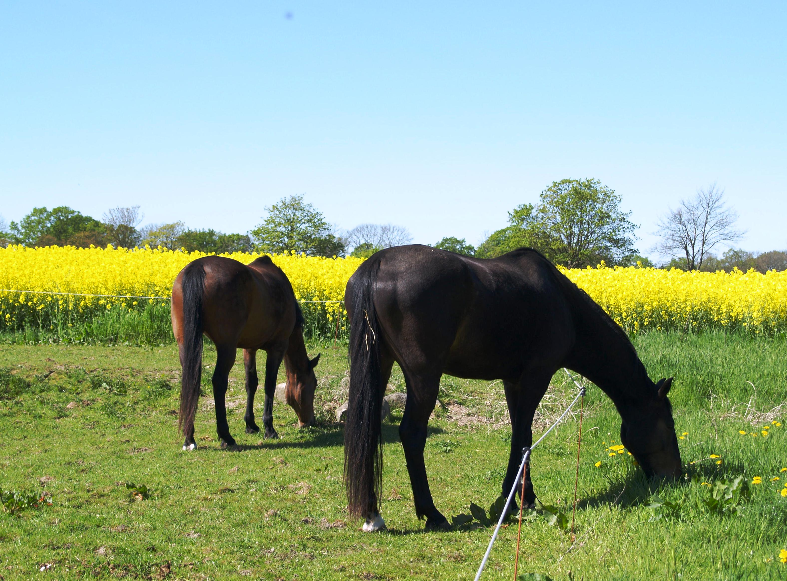 Zwei Pferde vor blühendem Raps