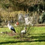Storch Horstie begegnet neugierig einem Storch aus Plastik.