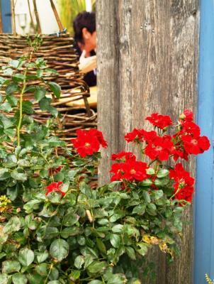 Klönen hinter roten Rosen