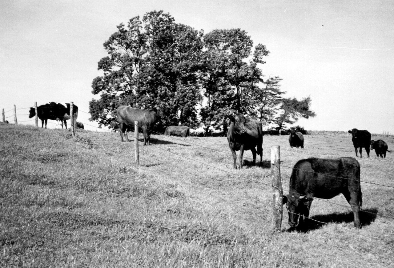 Angler Rinder auf der Weide