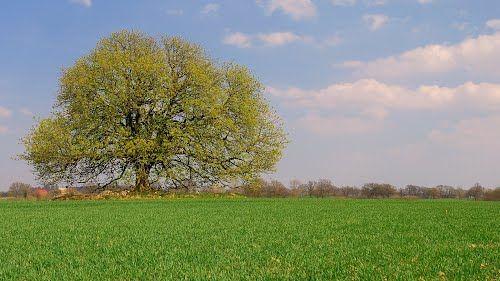 Kugelbaum im Frühling