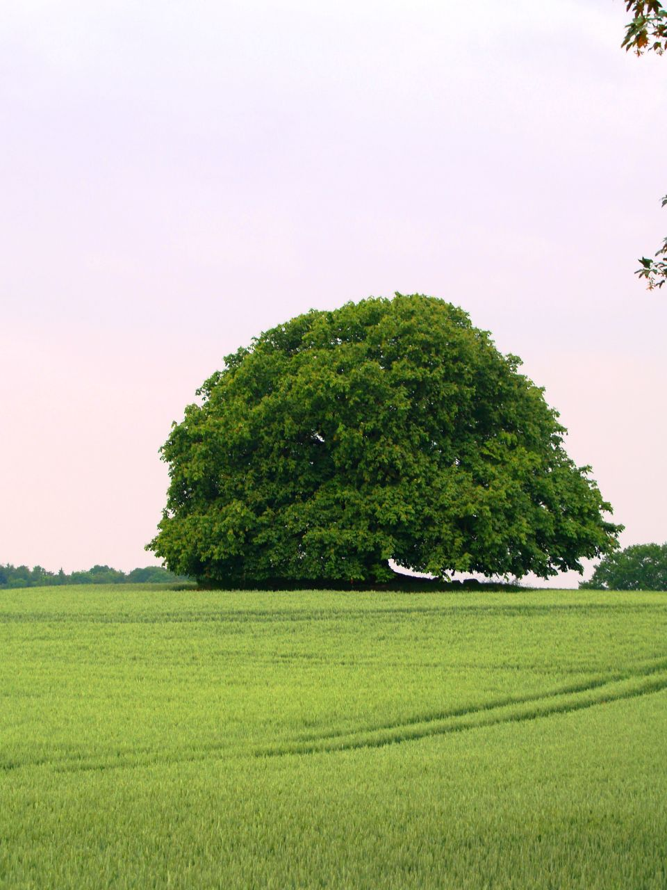 Kugelbaum im Sommer
