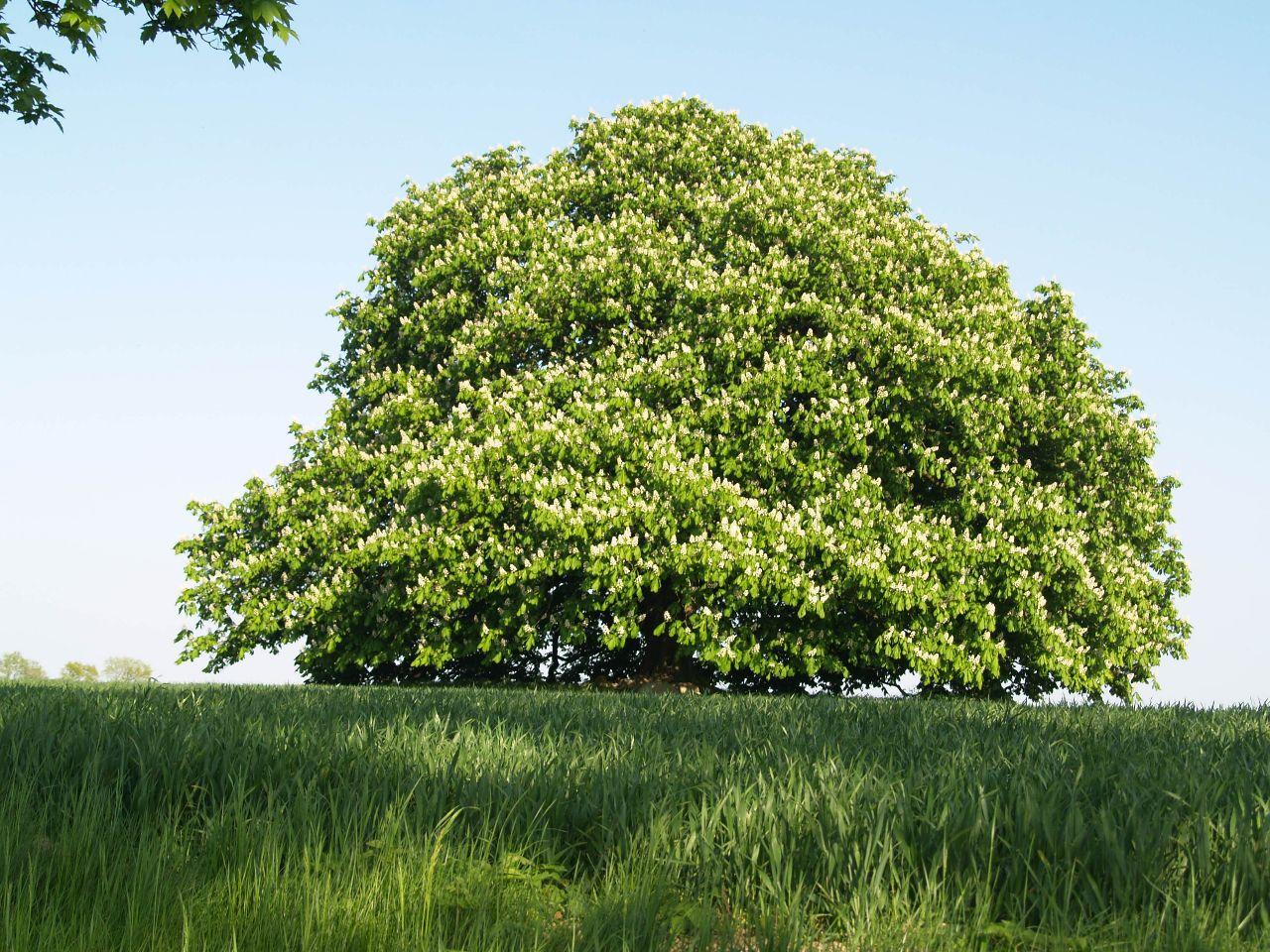 Kugelbaum in Blüte