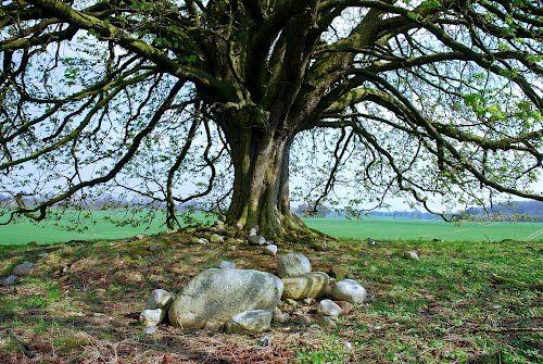 Kugelbaum im Winter