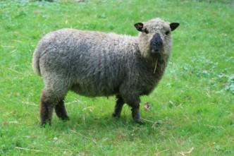 Shropshire-Schaf