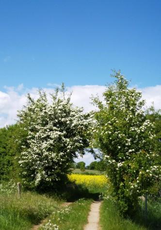 Weißblühender Bogen