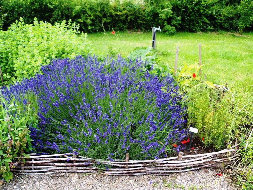 Lavendelbusch in voller Blüte