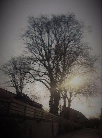Lichtschein-Linde